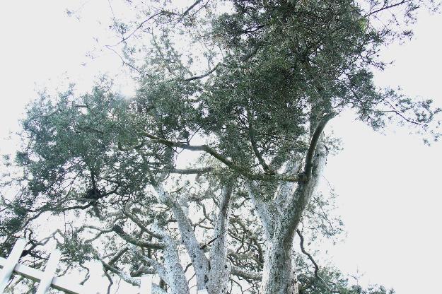 Icheon Lacebark Pine Tree