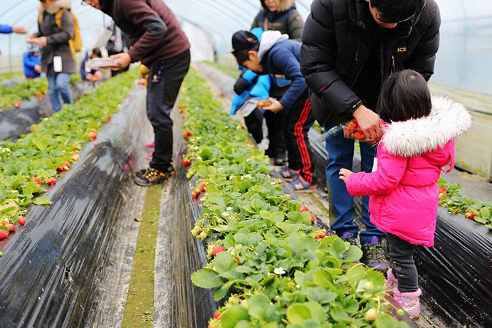 楊坪イチゴ弁当祭り