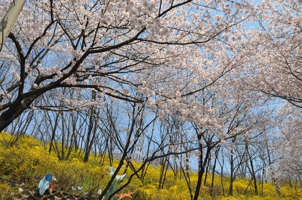 富川陶唐山桜祭り2016