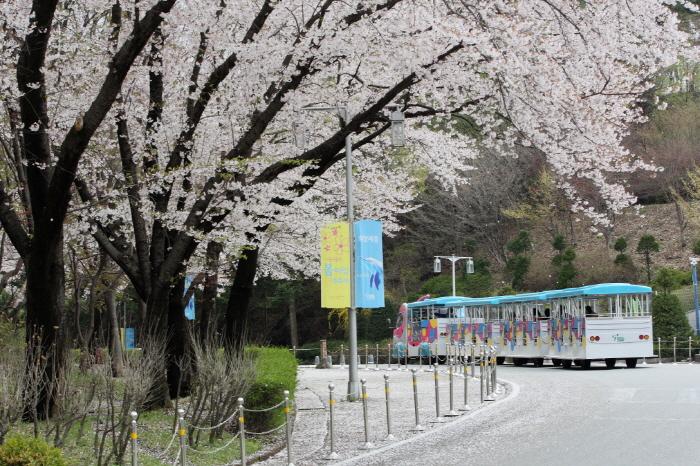 ソウル大公園桜祭り
