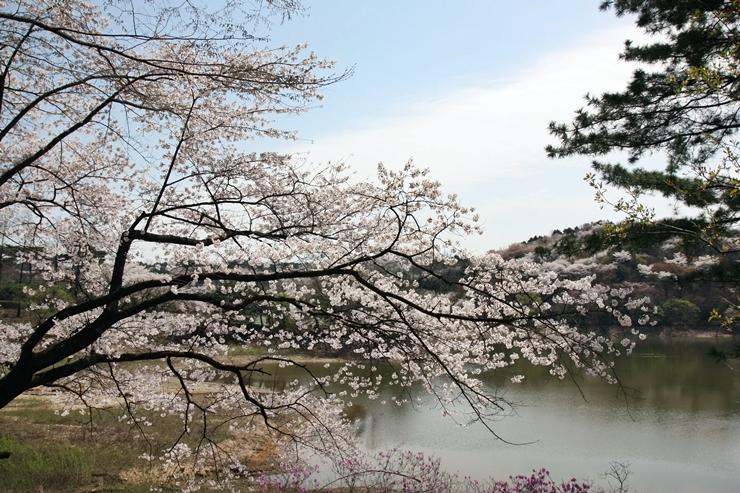 龍仁エバー桜祭り