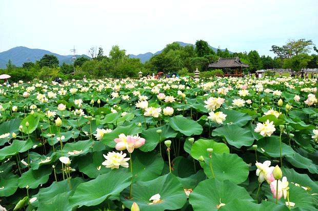 洗美苑蓮花文化祭