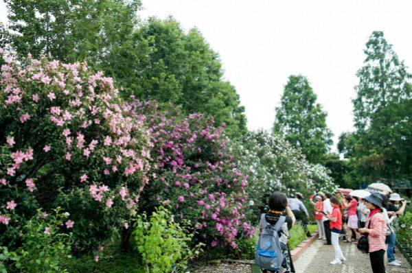 国の花ムクゲ水原祭り