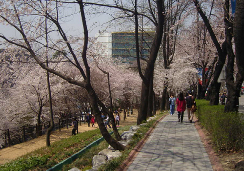京畿道庁桜ロマン祭り