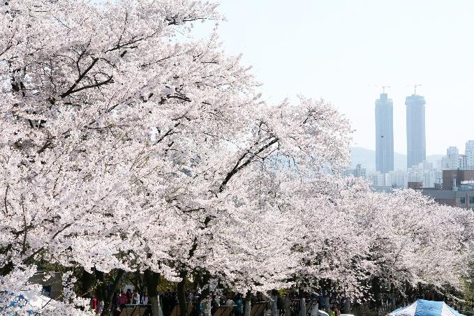 陶唐山桜祭り