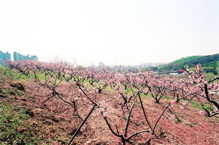 春徳山桃花祭り