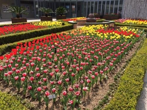 新丘大学植物園チューリップ祭り