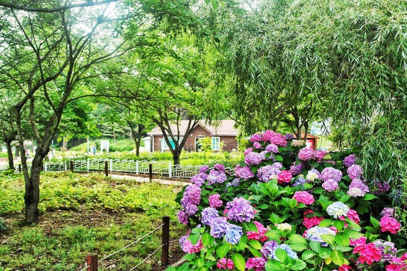 アチムコヨ樹木園「アジサイ展示会」