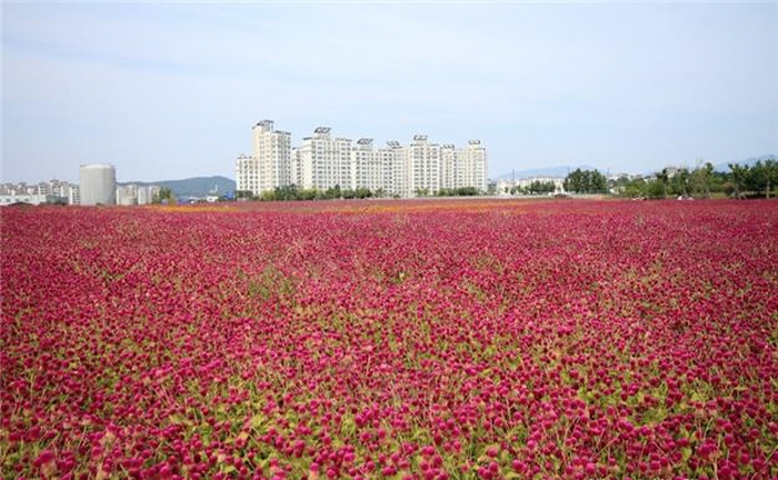 楊州一千万本千日紅祭り